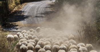 Flock of sheep moving in the same direction